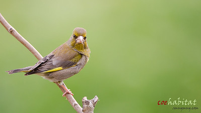Angry Green Finch