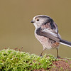 Long tailed Tit on mossy log