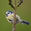 Blue tit<br /> May 2013