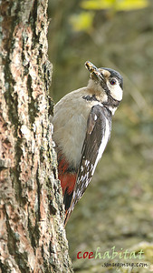 Greater Spotted Woodpecker with Caterpillars. Local wood, June 2013