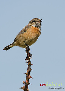 Female Stonechat, Northumberland, May 2013.