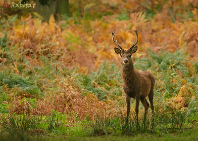 Red deer and heather