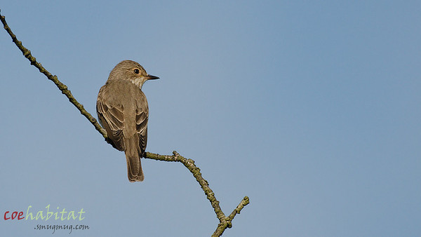 Spotted Flycatcher, Local wood, June 2013.