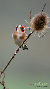 Goldcrest on teasel