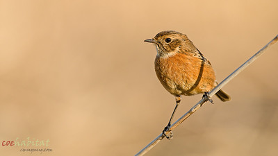 Female Stonchat