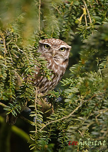 Little Owl April 2013