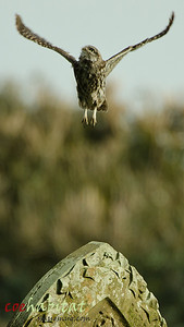 Up Up and Away... Little Owl in Flight