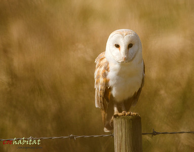 Barn Owl Norfolk, Easter 2013