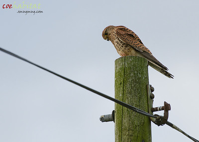 Kestrel on telegraph pole. Staffordshire, July 2013.