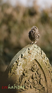 'Looking up to heaven' little Owl on Grave stone April 2013