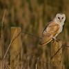 Barn owl on post<br /> Norfolk Feb 2013