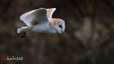 Barn Owl in flight Norfolk, Easter 2013