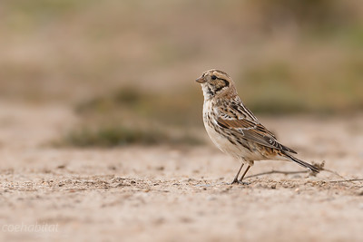 Female Lapland Bunting