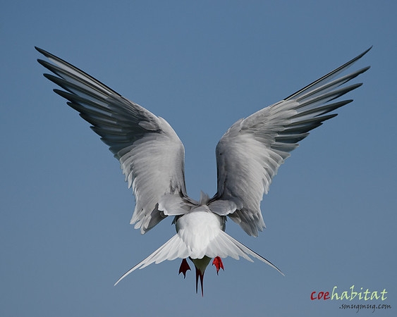 Arctic Tern hovering, Farne Islands, May 2013