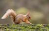 Red Squirrel with Hazel Nut