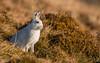 Mountain Hare Alert