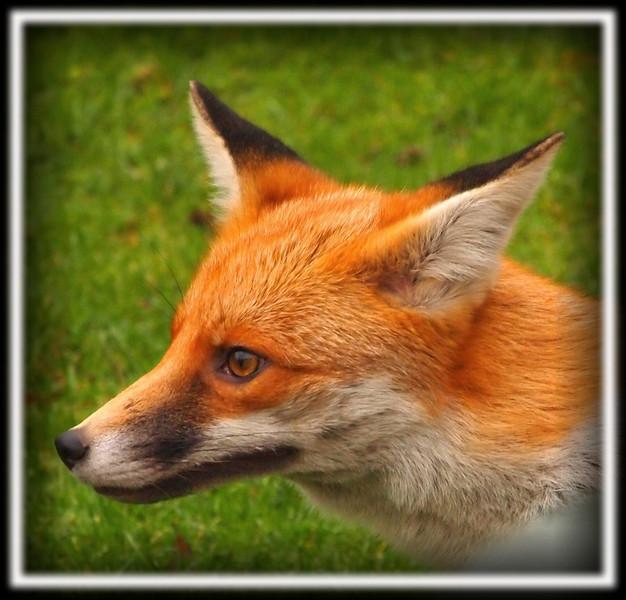 fox head close up