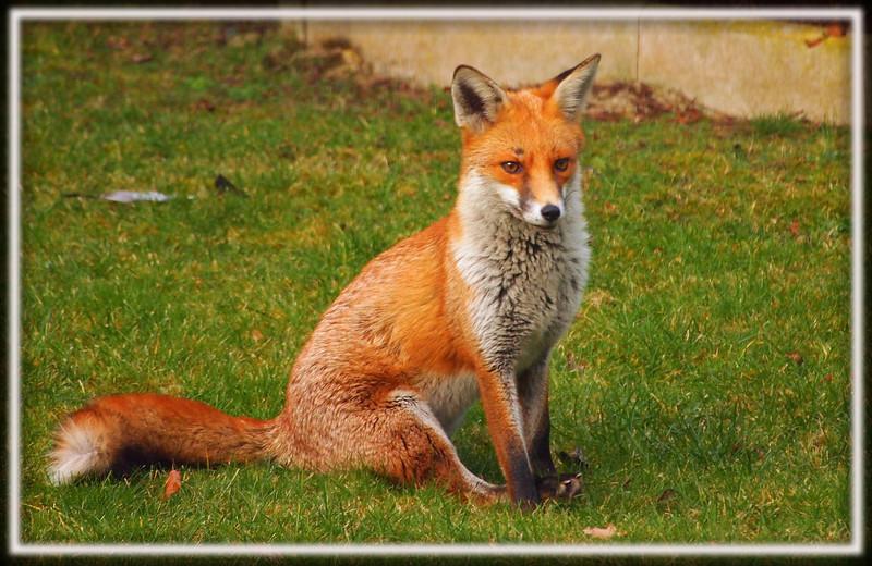 fox full size