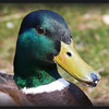 Male mallard duck- not a usual garden visitor