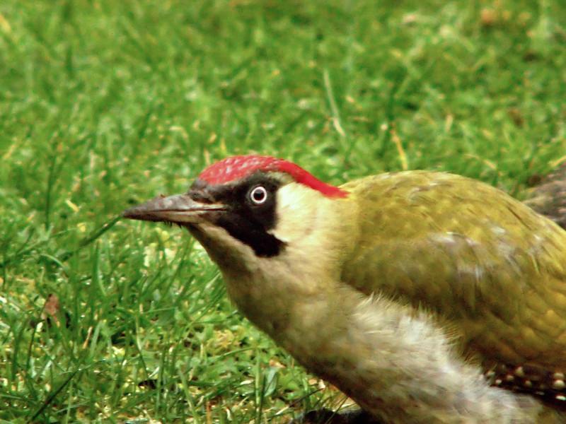 green woodpecker closeup