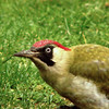 green woodpecker closeup