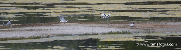 Avocets driving off Gulls, 2 eggs exposed on right.