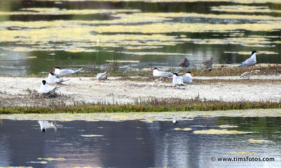 Common Terns and chicks, Kentish Plover on RHS
