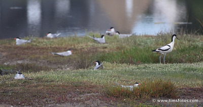 Common Terns and Avocet