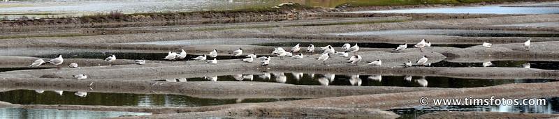 Black Headed Gulls on salt pan.