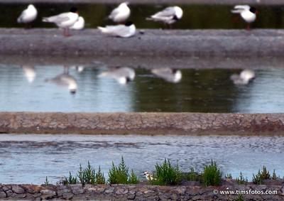 Black Headed Gulls on top, Kentish Plover bottom