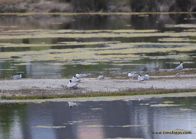 Common Terns, Kentish Plover on right