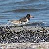 Eurasian Oystercatcher - Strandskade