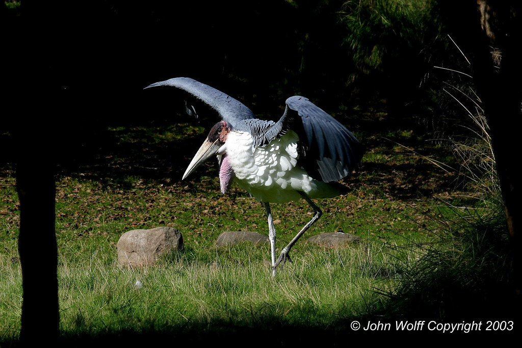 <b> Stork exercising its wings </b>