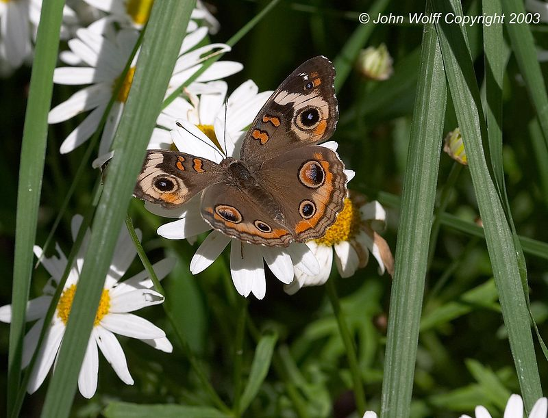 <b> Common Buckeye </b> <i> Junonia coenia </i>
