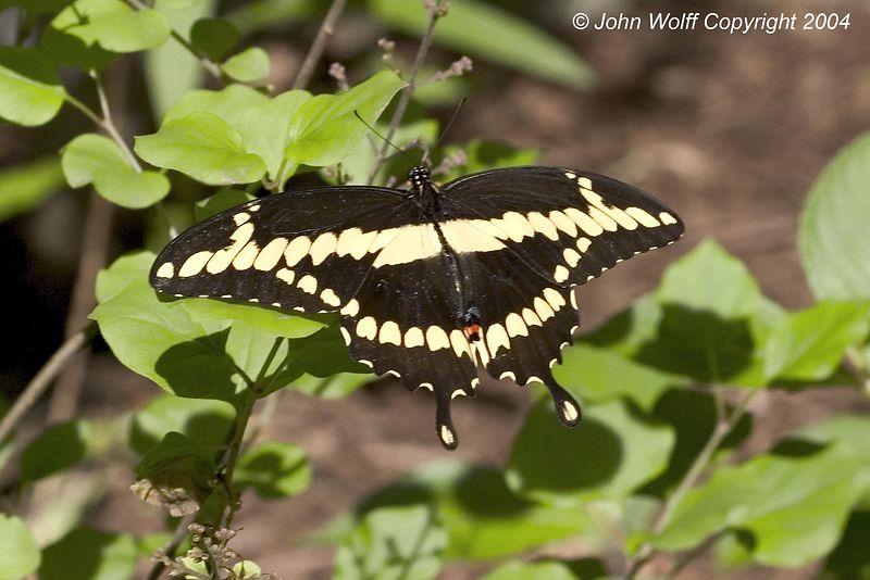 <b> Giant Swallowtail </b>