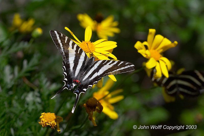 Zebra Swallowtale