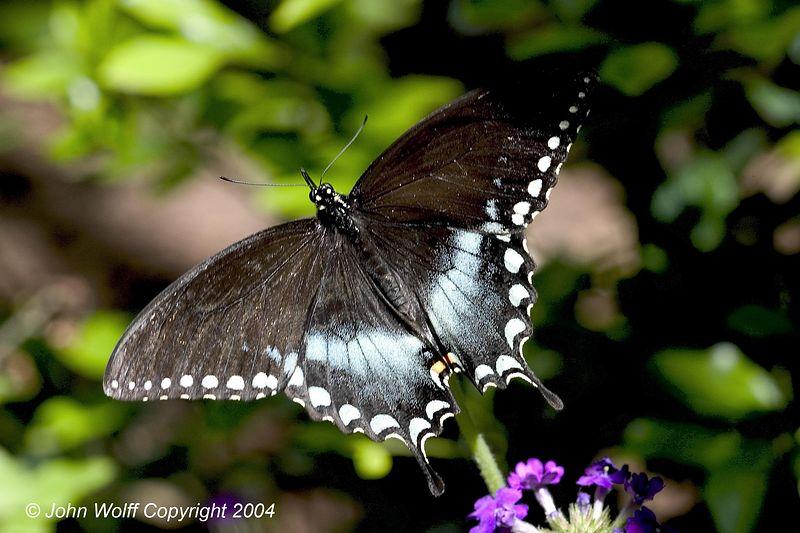 <b> Spicebush Swallowtail </b>
