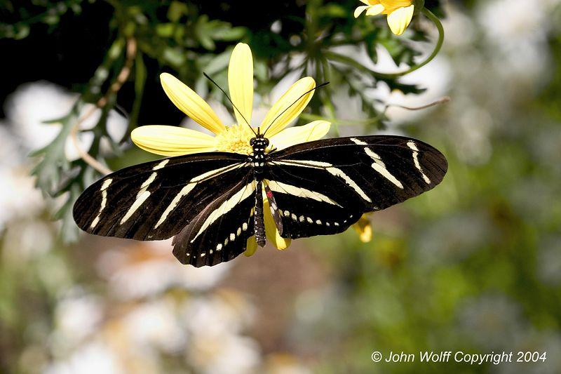 <b> Zebra Longwing </b>