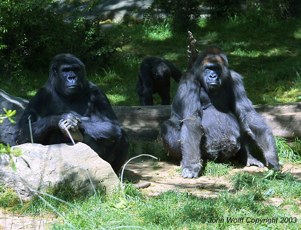 <b> Couple of serious Gorillas </b>