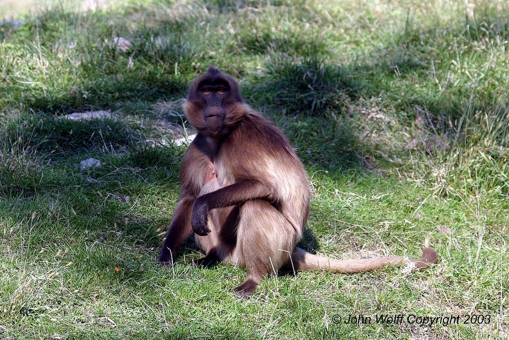<b> Baboon posing </b>