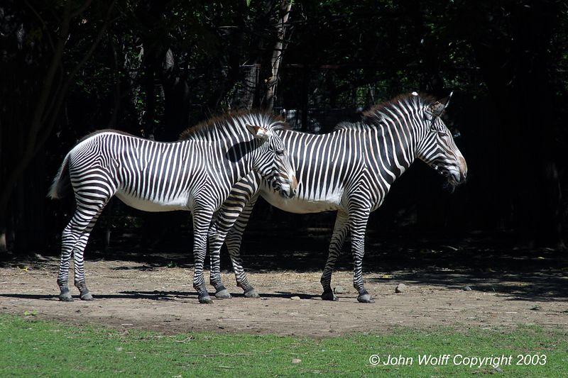 <b> Two Zebras </b>