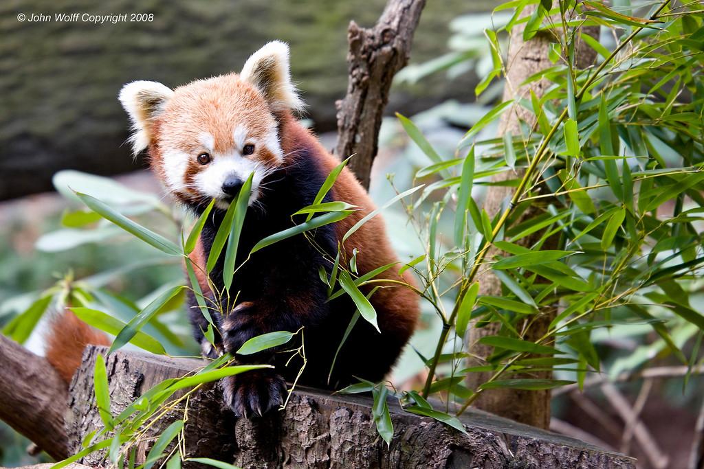 <h3>Red Panda</h3>