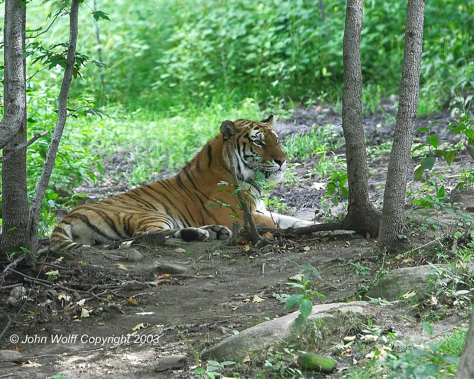 <b> Tiger </b>