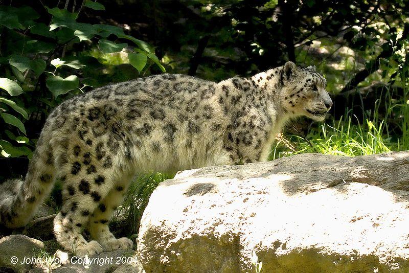<b> Snow Leopard </b>