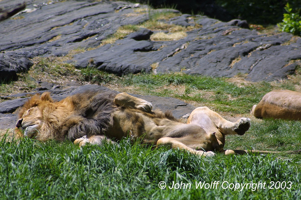 <b> Tough life - lazy Lion </b>