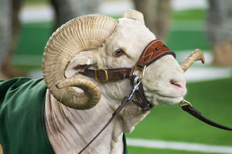 Cam the Ram made an appearance before the 50th annual Bronze Boot relay at CSU's on-campus stadium on Friday, November 3, 2017.