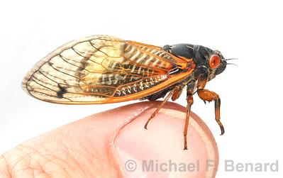Brood X cicada on a finger