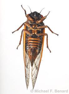 Female Pharaoh cicada (Magicicada septendecim)