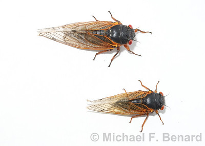 Two species of Brood X cicada