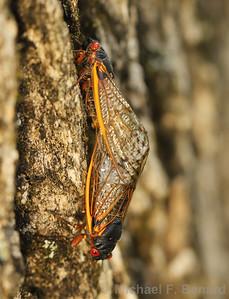 Mating Brood X Cicadas